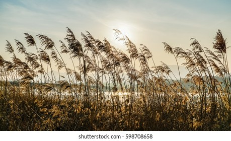 Reeds in the rive/Swaying Reed-2