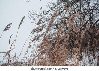 Reeds in the snow on the shore of a frozen river.