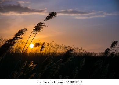 Reeds at sunset.