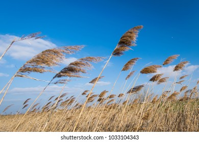 Reeds in the sunset light with moderate wind, near Satchinez village, Romania
