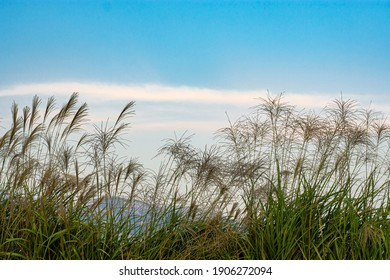 Reeds Sway On The Wind And Sun Rays. Meadow Reed Sways.Wild Grass Sway From Wind Against Sky. 				Blue sky