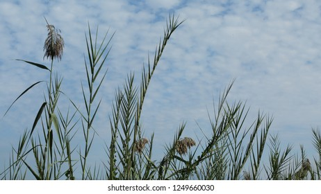Reeds swaying in the wind/Belek,Antalya-TURKEY