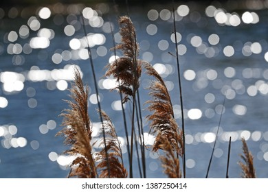 reeds or wild grass known as ravennagrass or elephant grass Latin saccharum ravennae flowering with sparkling water behind in the sunshine in spring in Porto Potenza Picena Italy by Ruth Swan