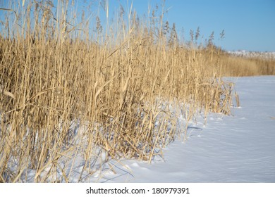 reeds in winter nature