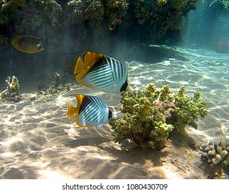 Reef angel butterfly fish coral underwater in Ras Mohammed, Egypt, Red Sea