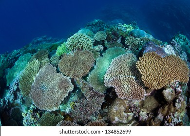 Reef building corals, mainly Acropora species, regrow on Palau's barrier reef after being decimated in the late 1990s as sea surface temperatures rose to deadly heights.