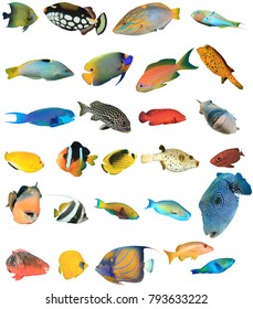 Reef Fish of Indian and Pacific Oceans and Red Sea. Tropical fish isolated on white background