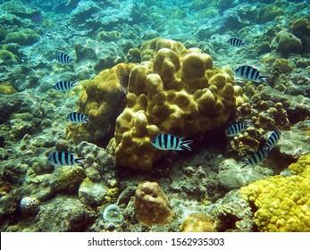 Reef fishes over a coral garden. Ogasawara Islands Snorkeling, Japan.