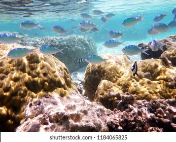 Reef fishes in Tumon Bay, Guam, Mariana Islands