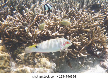 Reef life in Tumon bay, Guam, Mariana Islands. Three-spot wrasse.