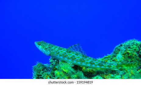 Reef Lizardfish in deep thoughts on a coral, Curacao