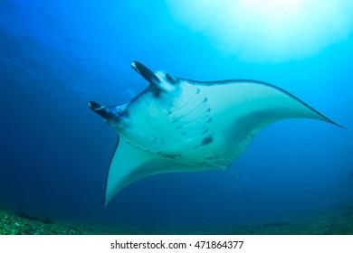 Reef Manta, Komod, Indonesia