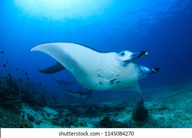 Reef Manta Rays (Manta alfredi) in a mating formation with several males following a mature female, Komodo National Park, Indonesia