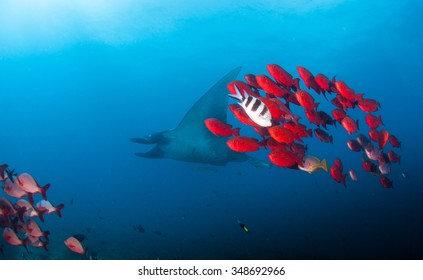 A reef manta swimming alongside bright red big eye crescent trails