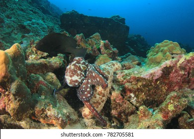 Reef Octopus searches for food under a sea cucumber