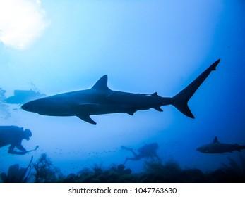 Reef shark swimming near scuba divers