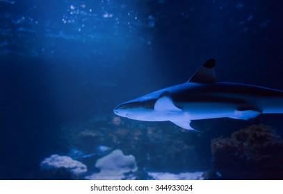 reef shark swimming undersea
