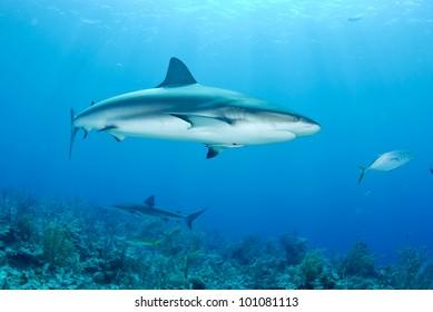 Reef shark swims in clear blue ocean