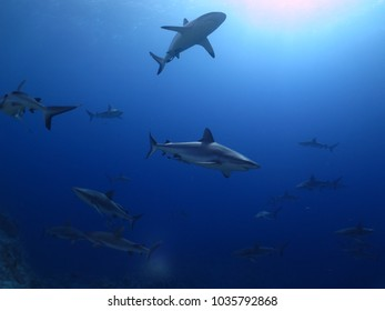 reef sharks in the coral sea