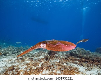Reef Squid in shallow water of the coral reef in the Caribbean Sea around Curacao