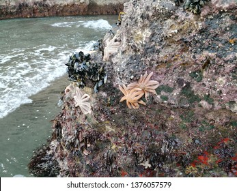 Reef starfish (Stitchaster australis) and mussels attached to rock formation exposed by king low tide