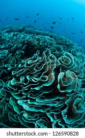 Reef-building corals contain symbiotic dinoflagellates that are expelled from the corals when high sea surface temperatures stress the colonies.  This is known as coral bleaching.