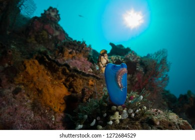 Reefscape with a flatworm crawling over a blue tunicate. Photographed near Bali, Indonesia