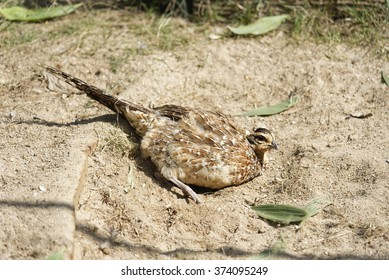 Reeves's pheasant bird standing on ground