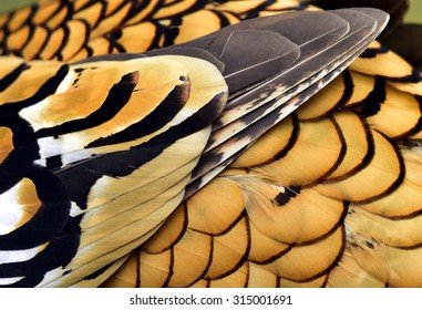 Reeves's Pheasant feathers