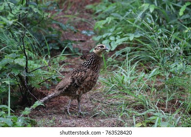 Reeves's Pheasant female walk along a mud road at the shurbs in a forest in China