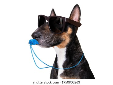 referee arbitrator umpire bull terrier dog blowing blue whistle in mouth ,  isolated on white background