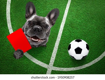 referee arbitrator umpire frech bulldog dog ,showing red card,  isolated on white background