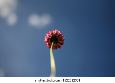 Refined flower with pink petals on a thin stalk blurred focus. What do the flowers see when they grow. Blue sky and white clouds without focus. Natural background from under a flower
