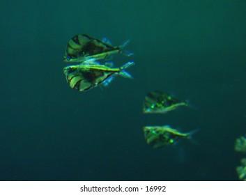 Reflected fish