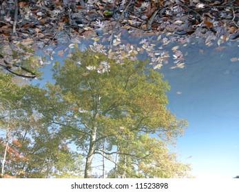 Reflected Oak tree in lake