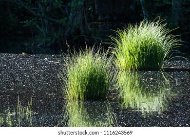 Reflecting green grass tufts in a pond at the swedish island Oland