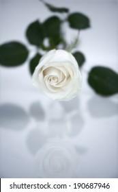 Reflecting White Rose�