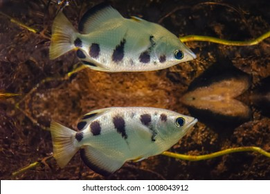 Reflection of an archer fish at the surface