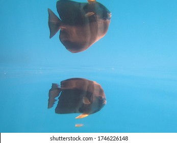 reflection of a bat fish swimming in the sea in the great barrier reef in Australia, taken with an underwater camera