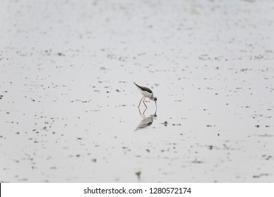 The reflection of black winged stilt was like this narcissistic bird kissing itself.Its long legs make up around 60% of its overall height, providing it with a feeding advantage in deeper waters.