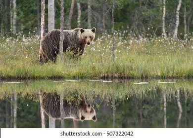 Reflection of brown bear. Brown bear with reflection.