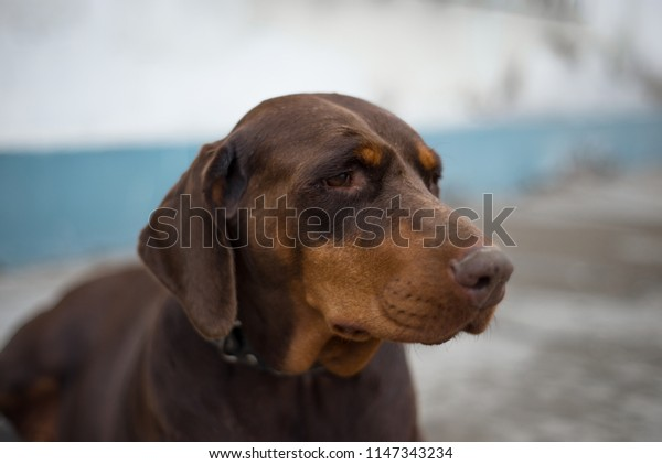 Reflection. cute dog doberman. dog  on white and light blue background.