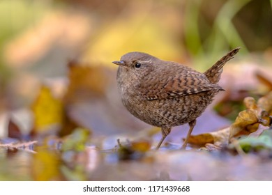 Reflection of Eurasian wren (Troglodytes troglodytes) and autumn colored leaves