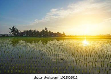 Reflection of farmer house and young paddy seed during sunrise