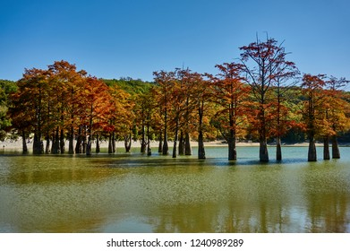 Reflection of marsh cypress trees in the water of a mountain lake. The red, yellow leaves of the famous old deciduous conifers (Taxódium dístichum) of the cypress family. Reflection. Sukko Valley