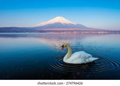 Reflection of Mt Fuji and White swan at lake Yamanaka.
