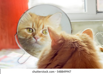 Reflection of the red cat, carefully looking  in round mirror closeup