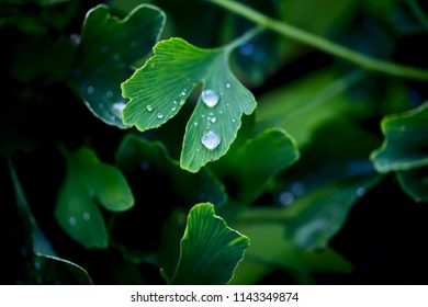 Reflection in water droplets on young leaves of ginkgo biloba.