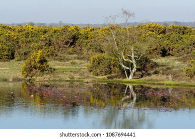 Reflections of the gorse and tree line at Hatchet Pond, New Forest National Park