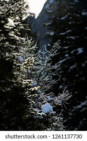 the reflections of light between the snow-covered branches of the pines in winter